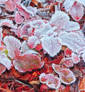 04 Feb 13.  A couple of weeks back while sitting in a parking area waiting for Jan, I noticed that the landscape plants were covered, in varying degrees, with frost, so I figured a great way to pass the wait time was to grab a shot or two of frost covered plants. No matter how I attempt this kind of shot, it always seems as though the ice crystals come up just a bit on the soft side. I'm not certain what causes this as the portions of the leaves that are lacking the frost crystals are totally sharp, so the crystals, being not more than an eighth of an inch in height, should be also. If I were shooting very close up, as in macro work, I might have an explanation for it, but with shots like the one for today, taken at a distance of perhaps10 - 15 feet away, I don't, and all should be sharp in a space of an eighth of an inch. Seemingly no different than shooting an insect on a leaf, but apparently, at least in my case, it is. This image could likely be cut into two pieces, with the horizontal division coming at the tip of the center downward pointing leaf. Nikon D300s; 18 - 200; Aperture Priority;  ISO 200; 1/60 sec @ f /8 with fill flash.