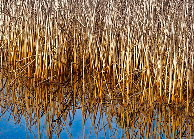 "27 Feb 13.  A few day's back I shared a shot of a marsh taken at the Foulweather Bluff Nature Preserve. I was rather taken by the lovely colors of the reeds in that marsh, and the image I'm sharing today is a close up of those reeds. Nothing really spectacular about the reeds in general, but it was the gradation of color from the base to the tips of the reeds that caught my eye. It is almost as though they have been in deeper water at some time and ""rusted"" in the portions that have been under water the longest, or perhaps it is just the effect of tidal movement. Whatever the reason, and I'm reasonably certain it is due to tidal movement, the combination of the golden reeds and reflected blue sky make to my way of thinking a nice image.  Nikon D300s; 18 - 200; Aperture Priority; ISO 200; 1/320 sec @ f / 7.1."