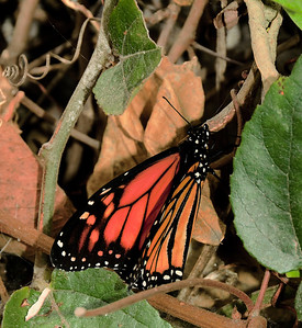 15 Feb 13.  I imagine that the majority of folks on these mailing lists consider butterflies as warm season performers, and not something you might encounter on a cool (mid 60s) winter's day, but such was the case for this critter. Exactly what type of butterfly it is I'm far from knowing, but based solely on its coloration and wing pattern I guessing it is some form of Monarch. Walking around Balboa Park in January of 2011, we watched in amazement as several of these beautiful critters began the last phase of their lives. It was one of those times when we just happened to be in the correct place at the right time. We had planned on visiting the zoo for a couple of hours, but it was so expensive that we elected to just meander around the grounds instead. A good choice all around it turned out to be.  Nikon D300s; 18 - 200; Aperture Priority;ISO 320; 1/60 sec @ f /11 with full flash.