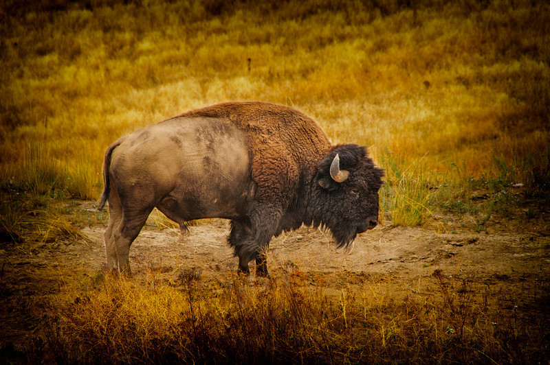 """04 Oct 13.  Out first venture out was to the National Bison Range. We traveled east on I-90 to the St Regis exit, then followed the Clark Fork river for a distance driving on MT highways 135 and 200. Our previous visit to the NBR in 2007 netted us lots of bison in a single herd, a nice group of elk, and one pronghorn. This time we found several smaller groups of bison scattered around the park, no elk, but they had been seen and heard bugling earlier that morning, and a group of three pronghorn that posed for us for the better part of 45 minutes. Unlike the previous visit, none of the bison were up close and personal, although most were within easy shooting distance even if the containing fences were frequently a bit disruptive for good photography. We came across several isolated bulls that made for a few good shots, and this is one of them. This guy was a couple hundred yards from a bigger group, and one couldn't help but think he had meandered away for a bit of peace and quiet. While we watched him and another a short distance away, it was hard to determine if he was more interested in lunch or partaking of the wallow beside him. The light was constantly changing while we were driving through the park on the roughly 19 miles that take you around the entire area. What started out as mostly blue skies with white clouds continuously progressed to more and more clouds with less blue sky and plenty of gray, eventually culminating in lots of rain, but not until minutes after we got back to our motel. The shot of this magnificent creature was taken while we still had mostly blue skies, but it turned out a bit more """"bland"""" than I would have desired. so, starting with the original shot as a background layer, I added a curves contrast enhancement to darken the entire thing. Combining those two layers, I added some small detail enhancement to the bison, then ran another curves correction to background. I then added the vignette, added another curves layer this time just to """