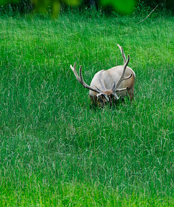 "Labor Day	Our (Maggie and me) late evening return from the visit to Tipsoo Lake brought with it a very pleasant surprise in my first sighting of an elk in Mt Rainier National Park, and only the second time I've ever seen elk in our Cascade mountains, although they flourish there in the thousands. I would have missed the entire viewing had it not been for a small jam up of vehicles on the side of the road forcing us to come to a crawl. That provided for ample and safe time to have a gander at what everybody was looking at along the road's edge. It turned out to be a rather large Bull Elk, a 6 point on this coast and 12 point on the east coast, that was having a late evening browse in a very lush wetland area. While you couldn't see the water - he was standing in a wet area reaching up to his belly - you could hear him slosh through it as he left the ""easy"" viewing area. Easy meaning that if you made it to the very edge of the shoulder of the road, and crunched down between the tree's low hanging branches, you had a slight chance to get a few shots. By the time I had managed to frame something minimally acceptable, and get off 2 frames, he wandered off to the right and up a bit of a grade almost completely out of sight from where I was parked. It truly was tripod time, but there wasn't time to set it up and he was moving his head to and fro munching on the succulent grass at a rate that would have rendered a long exposure a blur anyway. I grabbed my two frames as best I could and drove off. One was completely useless, and this one was barely acceptable. To give you an idea of the lighting conditions, look at the exposure data. I was VERY fortunate to get what I did. I've cropped away the greater part of the original, but otherwise it is pretty much straight from the camera. Nikon D300s; 18 - 200; Aperture Priority; ISO 800; 1/13sec hand held."