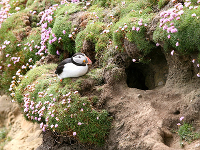 A puffin guards his cliffside burrow in the Shetland Islands.