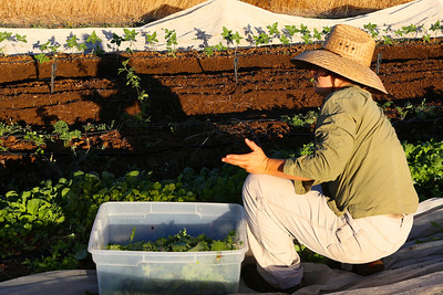 In the early-morning light, Sarah begins to harvest mixed salad greens to be sold at the farmers market.