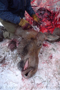 Processing a roadkilled moose. Cooper Landing, AK.