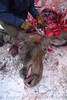 Processing a roadkilled moose. Cooper Landing, AK.