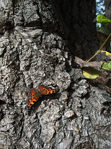 Green Comma, Anglewing (Polygonia faunus).
