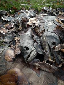 Carcasses of salmon line the banks of the Kenai River. Cooper Landing, AK.