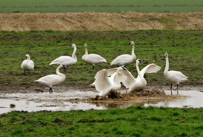 05 Feb 14.  In all the many trips we have made to Fir Island to shoot the snow geese, it has never been my luck to get any good photos of the other large migratory bird that winters over, the Trumpeter Swan. Usually I don't really even see that many of them, let alone positioned such that I could get a nice shot. So I have generally just considered them another critter that it would be nice to photograph but one that wasn't going to get checked off on my capture list. On our first trip up a couple weeks back I was quite surprised to see a large flock of them numbering in the several hundred in a field that was not accessible for photos but one which I could at least appreciate. On the next trip up two days later I commented on how I've never been able to get near enough any of them in a nice location to get a shot. A few minutes after having said that we crossed the river to Fir Island, made a quick left turn and stopped. There in the field right next to the road was a nice but small flock so close one could almost spit on them. While I was working the flock to try for something acceptable I got the idea of moving away from the group of photographers/bird watchers gathered at one location and move further away from the birds but in a spot that offered a different perspective. Shortly after positioning myself there I noticed a flight of three birds that were approaching as if to land. I put the camera on the birds and followed them while they made a full 360 above the landing site and then executed a smart 180 and approached to land. I began shooting the approach as they made the turn to the spot where all the rest of the birds were congregated. As they made their final approach and descent to the land, I kept firing at 5 frames a second to see what I could get. This shot was just before they came to a full stop as their feet were plowing up the muddy wet pasture where they would join their fellows for breakfast. The bird on the left was squawking all the way down but I never did decipher his call. Nikon D300s; 18 - 200; Aperture Priority; ISO 400; 1/320 sec @ f /8.0.