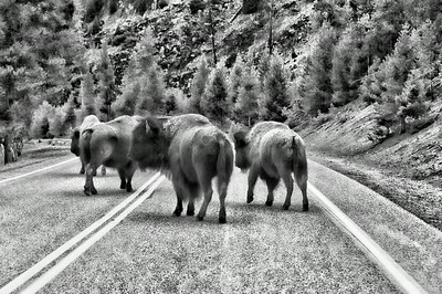 29 Jul 14.  Returning from a full day of shooting and looking forward to a quiet and restful evening, we encountered a bit of a roadblock about 10 miles from the park entrance in the form of a small herd of bison. Now keeping in mind that they weighed, on average, as much as the vehicles on the road with them, the prudent thing to do was to stop and slowly ease by them as opportunity presented. With the herd electing to use the entirety of both lanes, it was obvious to us, as it was to almost all the other vehicles on that road, that we were going to be delayed a bit. Except for one jackass who thought that his desire to be elsewhere took precedence over everything else and, after honking loudly at us for a minute or two, swerved out from behind us, passed rapidly waving arms and yelling at us as they swerved in front of us, then around a LARGE bull directly in front of us, barely missing him and almost (unfortunately) going into the ditch before regaining control of the vehicle and speeding down the road. One of those very few times you found yourself  wishing for one of the rangers. The vehicle involved in this display of obvious superiority and intelligence weighed substantially less than did that bull and I was hoping that the bull would give it a nudge!! The bull in discussion is front center in the image. Not being certain as to the attitude of the group at that moment, I took this image through the windshield. I've taken the original color image, fully adjusted the color, then into a B&W program, and finally done a little finagling to give it this 3-D like look. It is a bit surrealistic, but then, so was the behavior of the idiot driving that one vehicle! Nikon D300s; 18 - 200; Aperture Priority; ISO 200; 1/160 sec @ f / 5.6.
