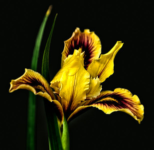 06 Jun 14.  For today's macro submission I've taken a potted (meaning in a flower pot) iris from a stand in a nursery and moved it into a position on another bench to remove all distractions and placing it so that the background is a deeply shadowed area to give the appearance of it being black.  A nice approach to macro photography when you can find these conditions, a good backdrop and a cooperative nursery owner. There are two such nurseries nearby which actually encourage photography on their properties which is a real treat from my perspective! This plant was about 8 inched in height, so it is a true macro! Other than adding a bit of micro contrast to the shot, it is basically a straight out of the camera approach. The dynamic coloration and nice textures in the petals made my work very easy. I rather like shoots like this one.  Nikon D300s; 18 - 200; Aperture Priority; ISO 200; 1/200 sec @ f / 8.