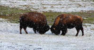 23 Jun 14.  I mentioned earlier that after having attended a business meeting in town that went way over its time allotment, we headed out to see what we could on a late Saturday afternoon. By the time we thought it best to return home the snow was once again falling but nothing more than a lovely shower. Enough however to cover a herd of bison with what looked more like a powered sugar dusting that was giving them a nice white frosting to their chocolate cake layer below. Several groups of perhaps 20 - 30 animals each made up the entire herd and in most of the individual groupings there were several young bulls practicing their sparing arts in preparation for the summer circus. One pair was directly in front of where I was standing and was putting on quite a show for the better part of 30 minutes. The snow was falling as they practiced and it gave a muted view to all the action. This was the first time I got to see the animals in a snow setting and it was truly a delight! I've cropped off a bit of material from the top ( parts of a couple of animals) and the bottom (some out of focus grass), selectively brightened the medium browns and darkened the brightest whites, and added a very tiny of micro contrast adjustment. Nikon D30s; 18 200; Aperture Priority; ISO 200; 1/250 sec @ f / 9.