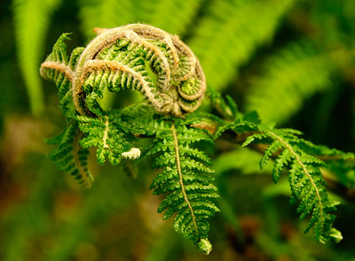 14 Mar 14.  If, like me, you see poetry and/or dance in the unfurling of ferns, then you are in for a ballet today in creams and greens. Wondering what I should share for macro Friday, we stopped in at one of the local nurseries and I shot photos while Jan purchased herbs. Not sure who enjoyed themselves the most, but the time I spent with the ferns was simply delightful, so much so, that I'm planning on a return visit Friday or Saturday. They don't stay in the furled condition long, so timing is critical. Don't think there will be anything to shoot by Sunday afternoon, so should any of you nearby appreciate ferns in this state I'd consider a shoot in the next couple of days. We have lots of these critters on the property so I guess it is time to do a little scouting to see what's happening all around me. If you live near a wooded area, I would think it might be time to pay it a visit. To get this final image I started with what the camera recorded, duped it and changed the blending mode to multiply at 50 %, the decided it would look better cropped so I cropped off the right hand side, then ran two filters on it blending the second with the first at 35%. This is the result. Nikon D300s; 18 - 200; Aperture Priority; ISO 200; 1/125 sec @ f / 9.