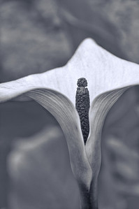 "30 May 14.  For today's macro submission I thought I'd try something a bit different and go with a ""threefer,"" a slightly creative B&W closeup. Never done this before, so it was something of a new approach to working with a flower. This is a shot of a calla lily from a local nursery that I first worked up to maximize the colors and textures in the flower, then converted it to B&W, and then finally manipulated it just a bit to get the final result. This is one of those images you are likely to either really appreciate or not like at all. I doubt that there will be many who fall into the It's OK. group, simply because it doesn't really fit into any specific ""kind"" of style. I enjoyed playing with it to get it where it is, so my liking of it is most certainly biased by what I had to do to create it. No filters or creative software(s) were employed to achieve this effect, so it is something new in more ways than one.  Nikon D300s; 18 - 200; Aperture Priority; ISO 200; 1/125 sec @ f /11."