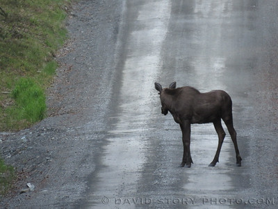 Young moose on Quartz Creek Rd.
