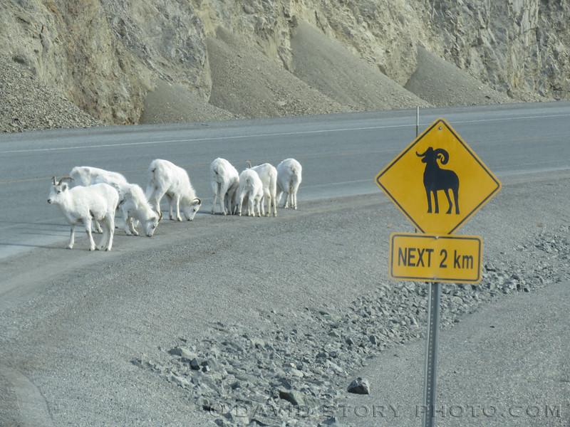Kluane calls for sheep.