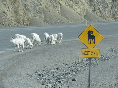 Kluane calls for sheep.