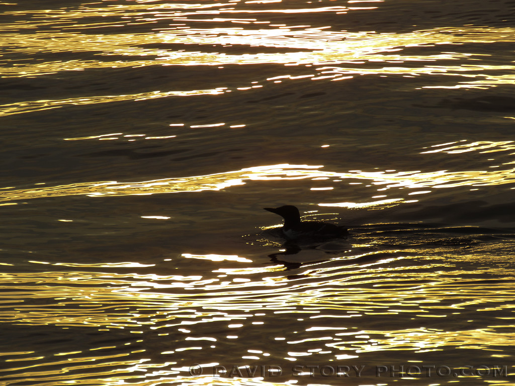 Common Murre (Uria aalge) catches sunrise. Resurrection Bay, AK.