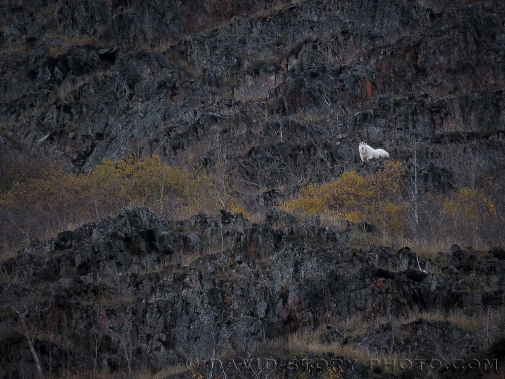 A mountain goat (Oreamnos americanus) haunts the cliffs of Langille Mountain. Cooper Landing, AK