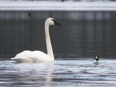 Trumpeter swan (Cygnus buccinator) meets Common Goldeneye (Bucephala clangula). Kenai Lake, AK.