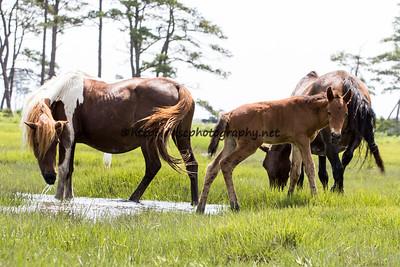 America's Sweetheart & Foal