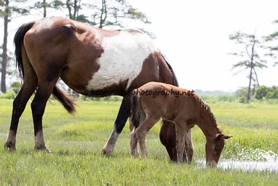Sockett To Me and America's Sweetheart's 2015 Colt