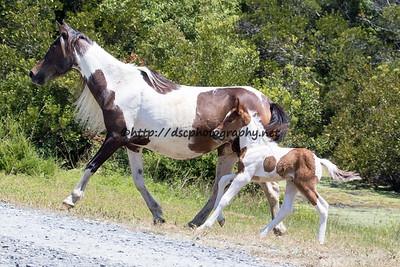 2015 Pony Penning Northern Herd Roundup