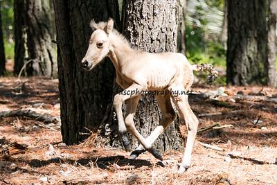 Poco Latte's 2015 Foal