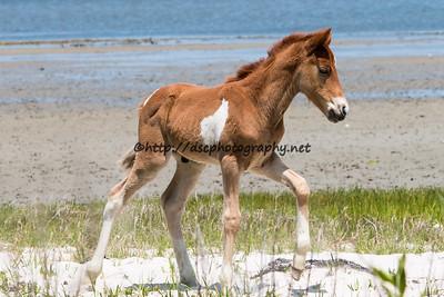 Slash of White's 2015 Foal