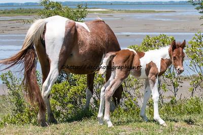 Sweet Jane/Duckie's 2015 Foal