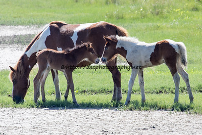 Checkers/Giraffe's and Miracle's Natural Beauty's Foals