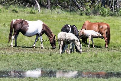 Dakota Sky, Baybe and Foal, Shashay Lady and Foal