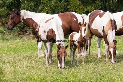 Dakota's Promise, Firestar's Foal, Essie with Maverick in the Background