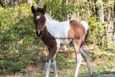 Skylark's 2015 Foal-Virginia/Ginny