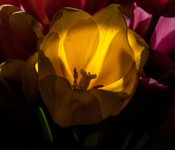 24 Apr 15.  Another tulip image for this macro Friday, this time just a single yellow flower set among several purple ones and fully backlit. It is among the many I took in the studio a couple weeks back and is from a grouping with very dramatic lighting. This one is best seen in a dimly lit setting to be appreciated fully. Your screen brightness will greatly influence this shot so it may or may not have the effect I want it too. If it is appearing brightly lit turn down you screen brightness to experience the effect I was attempting to create.  The base image was cropped to remove a couple minor distractions and that was it. This is as close to a RAW image as I can share with you as other than the mild cropping I have done absolutely nothing to it except to save it as a jpg file. Nikon D300s; 105mm macro; Aperture Priority; ISO 200; 1/320 sec @ f /10.