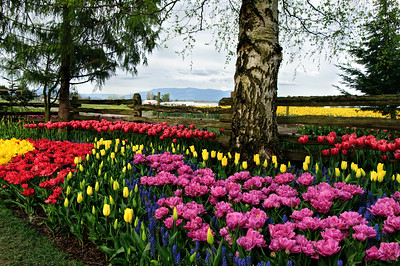 "22 Apr 15.  A little color today to contrast with yesterday's monochromatic shot. This is another from the Roozengaarde display garden in the Skagit Valley. The garden is divided up into several different sections, and this is from a roughly 3 foot wide band that parallels a lovely wooden fence that marks two sides of the garden. On the other side of the fence is located one of their larger growing fields and it can be seen as a band of yellow tulips on the right side that joins a thin strip of a set of white plastic ""greenhouses"" in the middle. The tree at the left marks what I'll call the NE corner of the display garden. The layout of the tulip groupings changes continuously along the fence with both color and petal structure coming into play in the design. You name a color, except for black, and I'm certain you will find it somewhere in the display; likewise, describe a petal shape, and it too is likely to be among the groupings. Bring your camera, your easel, or your sketch pad with you and consider making a day of your visit to see the tulips next year and record, in some fashion, every color imaginable . Or, if you prefer, come a few weeks earlier to see just yellow, daffodils, or a couple months later for purple and yellow, iris. No matter when you visit, the fields are certain to grab your attention and hold it for quite a while.  The base image was adjusted for max tonality, given a wee bit of global micro contrast enhancement, and that followed by a local contrast enhancement applied only to the sky. Nikon D300s; 18 - 200; Aperture Priority; ISO 400; 1/320 sec @ f / 9."