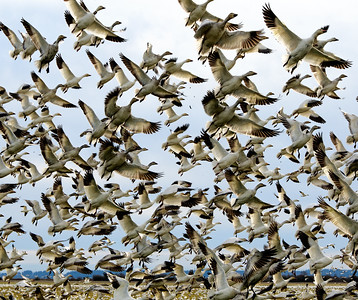 April Fools.  My current camera was purchased as a replacement for the previous one for a single reason; it can record video. And the video I wanted to record was that of the geese on Fir Island launching because my writing about them just doesn't do justice to their lift off scenario. I made this video about 3 years ago and am just finally getting around to sharing. Sad. On our return from shooting tulips yesterday we made a stop on Fir Island and were amazingly treated to one of their launches just minutes after stopping to observe them; a rare treat. What I'm sharing isn't from that visit yesterday, but is the same material. What is really amazing about these creatures is that while grazing you hear this total cacophony of honking that simply seems to surround you, and this flock is roughly 10,000 birds strong. When something scares them, let's just say a bald eagle started flying close, they ALL launch simultaneously, but for perhaps a half second prior to launch, ALL honking ceases at the exact same instant, and that is something eerily strange, and they are off. The lift off itself sounds like an explosion it is so loud! The image for today was taken post scare and is of the birds landing back on the ground. The video above, is of the birds as they are flying en mass and here you have the 10,000 flying back and forth yet they never collide. That is another amazing aspect of these birds. Do watch the movie as it is what this entire submission is about. I apologize for the audio, turn yours up so you can fully appreciate the birds, but the mic in the camera is not a unidirectional mic and so it also picked up the road noise. While I was making the movie I was literally standing on the edge of the roadway so the passing cars were within 5 feet of me. Which translates to loud background noise of passing vehicles.  The original image was severely cropped into the somewhat square format I'm sharing today, given a small amount of micro contrast enhancement, and adjusted for max tonality.  Nikon D300s; 18 - 200l aperture Priority; ISO 400; 1/640 sec @ f / 9.