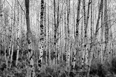 24 Feb 15.  This is a B&W version of the image I shared yesterday which I hope provides a little more of the structure (details) of the forest. With the color gone we can concentrate on all the various plant life that make up the total forest, much of which we tend to overlook due the starkness of the birches when contrasted with the yellows and blues of the color composite. A couple of times last year I put three images together to form a triptych; you may want to use 3 of the 4 in this series to make one of your own. This one might make the perfect center frame.  This is of course the same image as that sent yesterday; but in this case I took one more step to convert it in a B&W plug-in to achieve what you see.  Nikon D300s; 18 - 200; Aperture Priority; ISO 400; 1/125 sec @ f / 8.