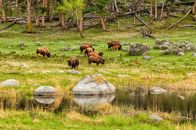 27 May 15.  Having been severely chastised by my bride last night for failing to show lots of baby bison after having written about them, I figured I'd better make amends and share some red dogs with you today. This shot was taken in the same area as that which I shared yesterday, except that it is on the other side of the road and about two blocks away. This is the forest side while that of yesterday was of the meadow side separated by a road. This little pond is one of my favorite spots for photographing the bison, and I can generally get a few good images there on each excursion. This group of 7 cows and their calves (one is hiding behind its mother so you can't see it) was slowly making its way across the field of view and up into the woods. Just beyond the left hand side of the photo another cow had just given birth perhaps 15 minutes before I got there. One of those very frustrating moments when you have been trying all day to capture a birth. Nonetheless, it was great to be out among them and experiencing that thing called Yellowstone! This shot should give you a little idea as to why the calves are called red dogs.  The base capture was color adjusted to bring out the best of each hue, then some contrast adjustment applied, and that was it.  Nikon D300s; 18 - 200; Aperture Priority; ISO 200; 1/160 sec @ f / 8.
