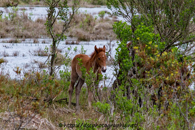 Foal #14 of 2016 Bay Girl's 2016 Foal Probable Sire:  Riptide Solid Chestnut Colt Southern Herd First seen 5/1/16