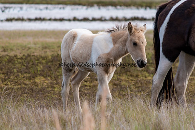 Foal #7 of 2016 Baybe's 2016 Foal Probable Sire:  Prince Buckskin Pinto Filly Northern Herd First Seen 4/22/16