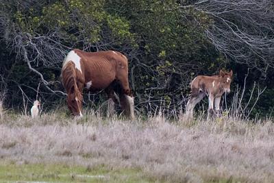 CJ Samm'n's 2016 Foal Presumed sire:  Courtney's Boy Minimal Chestnut Pinto Northern Herd First seen 5/8/16