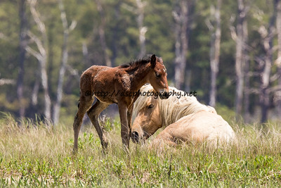 Foal #29 of 2016 Calceti'n's 2016 Foal Probable Sire:  Maverick Bay with Star Colt Southern Herd First seen 5/15/16