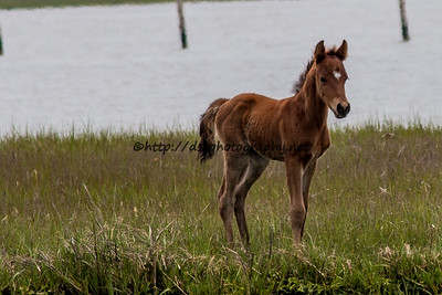 Foal #22 of 2016 Dakota Sky's Cody 2 Socks 2016 Foal Probable Sire:  Wild Thing Bay Colt Northern Herd First seen 5/12/16