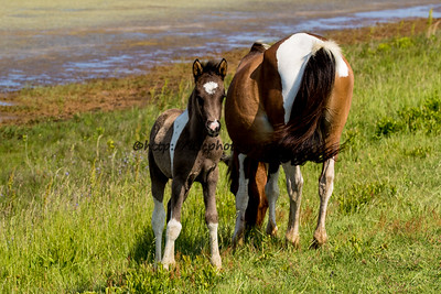 Foal #13 of 2016 Destiny's 2016 Foal Probable Sire:  Puzzle Black Pinto Colt Northern Herd First seen 4/30/16