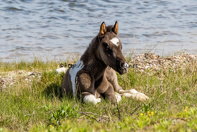 Destiny's 2016 Foal Probable sire:  Puzzle Black Pinto Northern Herd First seen 4/30/16