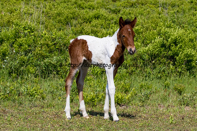 Dove's Filly