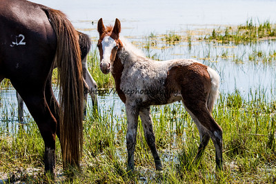 Foal #34 of 2016 Gidget's 2016 Foal Probable Sire:  Puzzle   Chestnut Pinto Filly Northern Herd  First seen 5/19/16