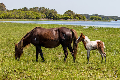 Foal #34 of 2016 Gidget's 2016 Foal Probable Sire:  Puzzle   Chestnut Pinto Filly Northern Herd  First seen 5/19/16 by Jerry Barnes