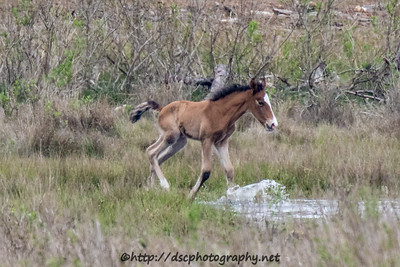 Foal #8 of 2016 Got Milk's 2016 Foal Probable Sire:  Riptide Bay with Bald Face Colt Southern Herd First Seen 4/23/16