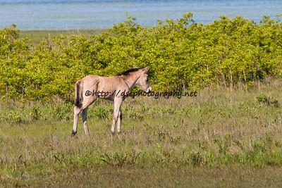 Foal #36 of 2016 Jessica's Sandy's 2016 Foal Probable Sire:  Neptune Buckskin Filly Northern Herd  First seen 5/20/16